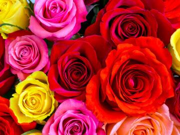 Розы разных оттенков