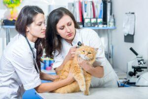 Прием кошки у ветеринара