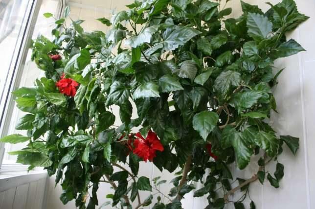 китайская роза - гибискус