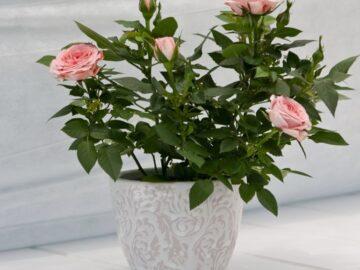 Розовая домашняя роза